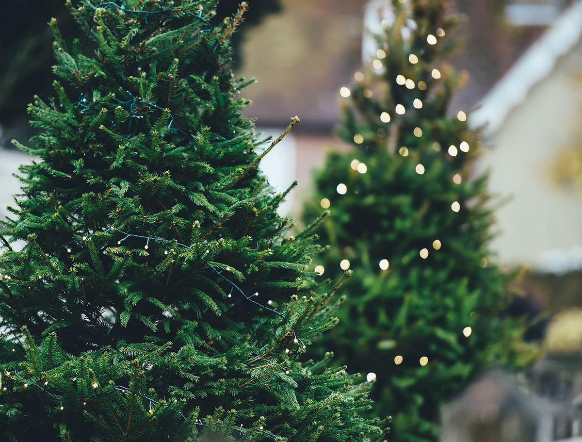 Types of Christmas Trees - Douglas Fir