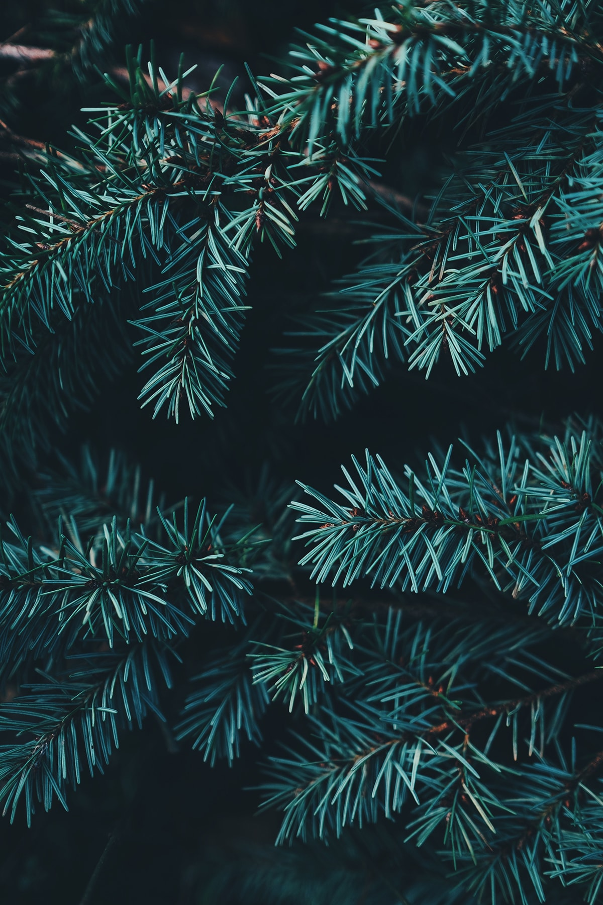 Types of Christmas Trees - Colorado Blue Spruce