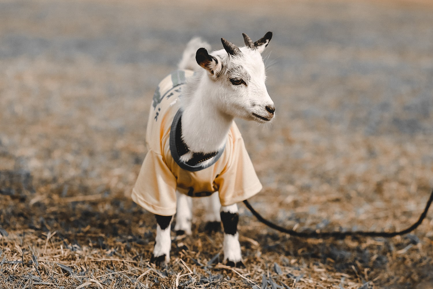 Funny Horoscopes - baby goat for Capricorn