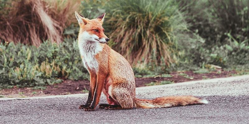 Bad Exotic Pets - Pet Fox
