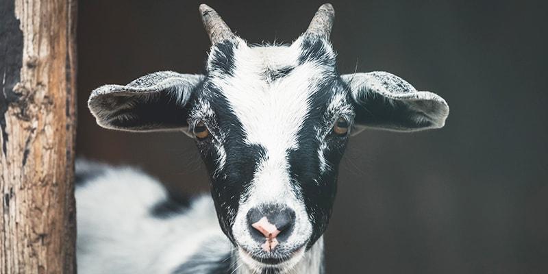 Bad Exotic Pets - Pet Goat