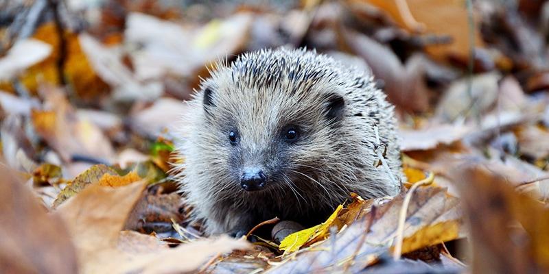 Bad Exotic Pets - Pet Hedgehog