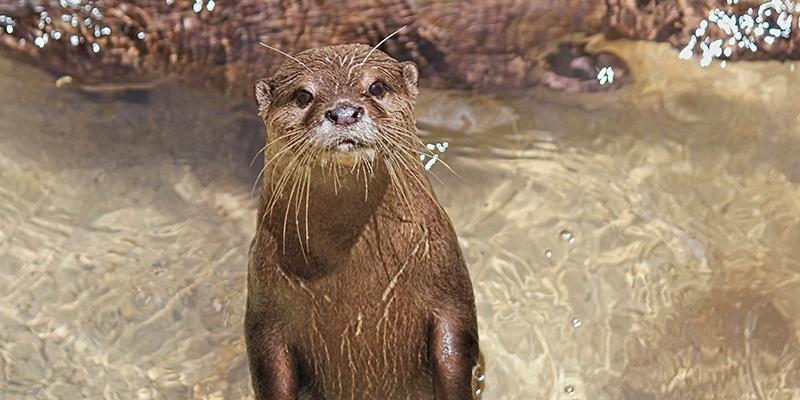 Bad Exotic Pets - Pet Otter
