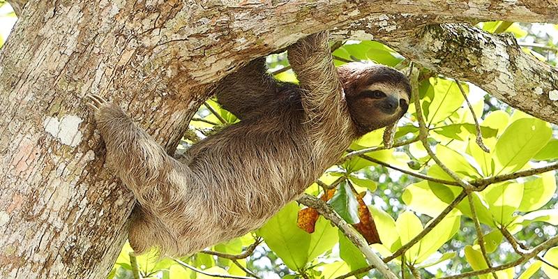 Bad Exotic Pets - Pet Sloth