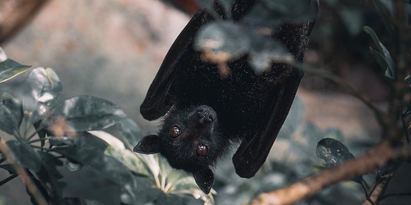 Bad Exotic Pets - Pet Bat