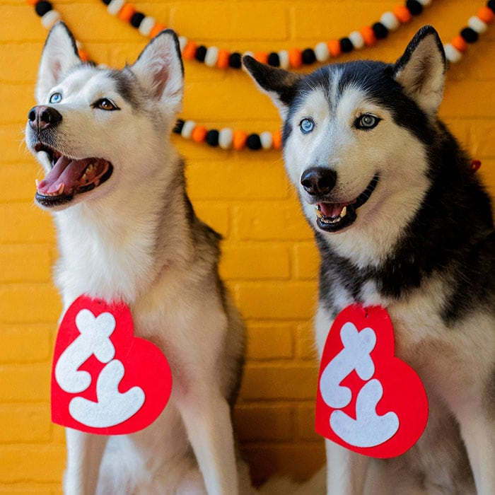 Funny Dog Costumes for Halloween - Huskies as Beanie Babies