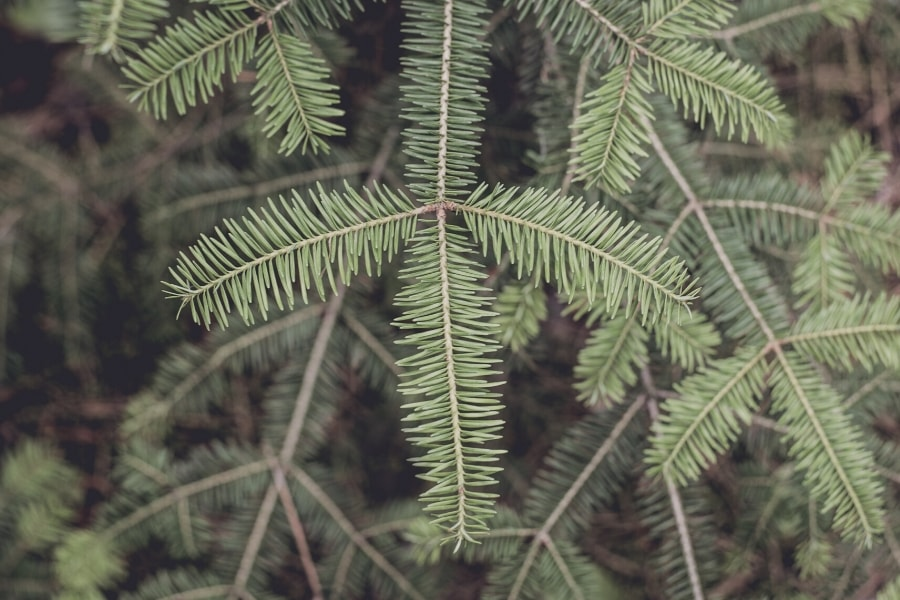 types of christmas trees - balsam fir
