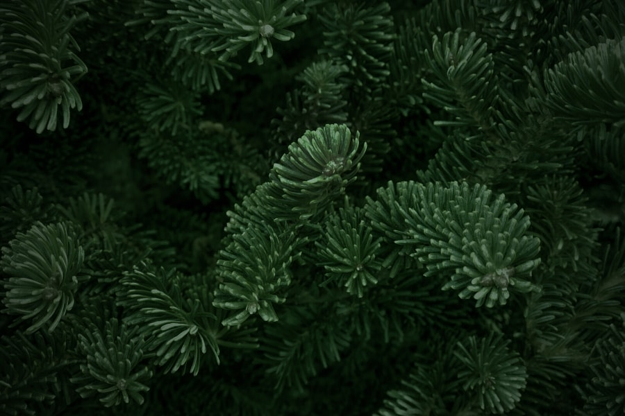 types of christmas trees - fraser fir