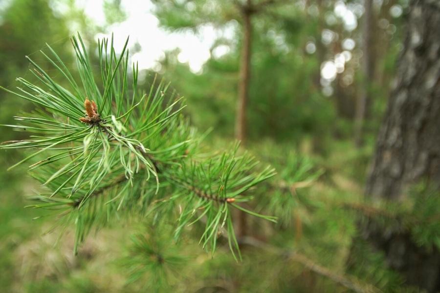 scotch pine trees