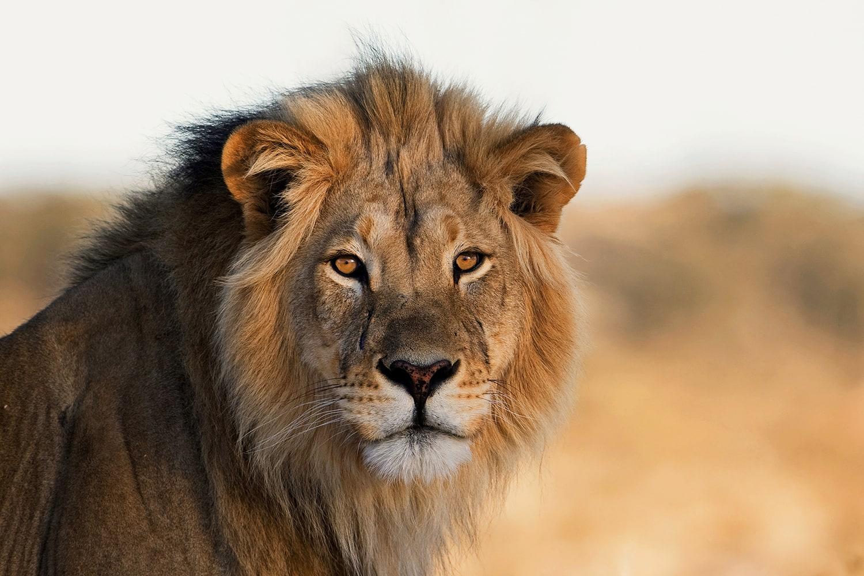 Leo Memes - Lion