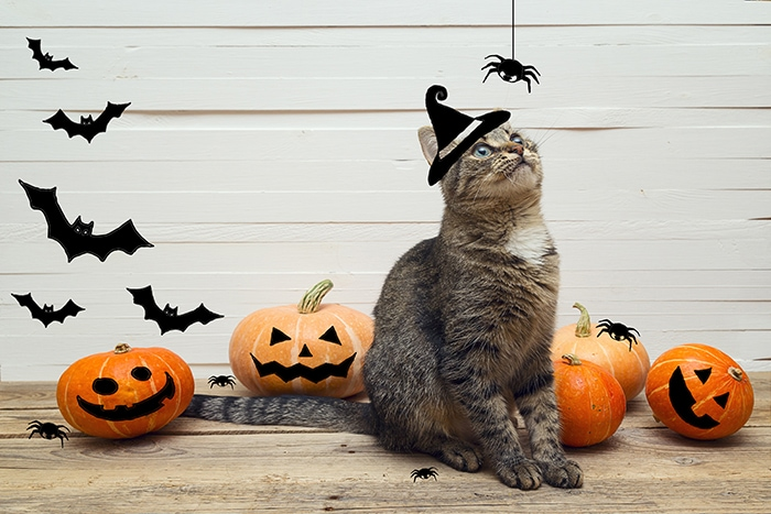 Halloween Jokes - Cat with Pumpkins and Photoshopped Witch Hat