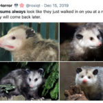 Roxi Horror Tweets - Possums
