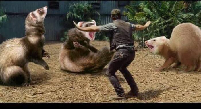Jurassic Park Dinosaurs Replaced By Ferrets - Chris Pratt