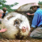 Jurassic Park Dinosaurs Replaced By Ferrets - Triceratops