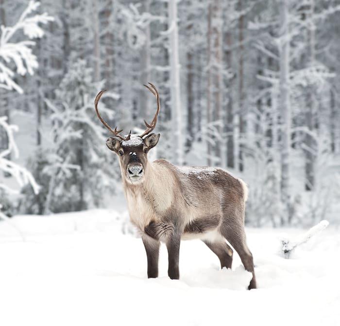 Christmas Jokes - Reindeer in Snow
