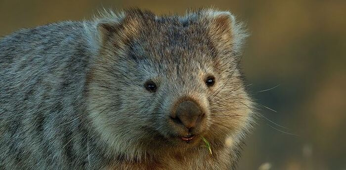 Gifts for nature lovers - WWF Species Adopt a Wombat