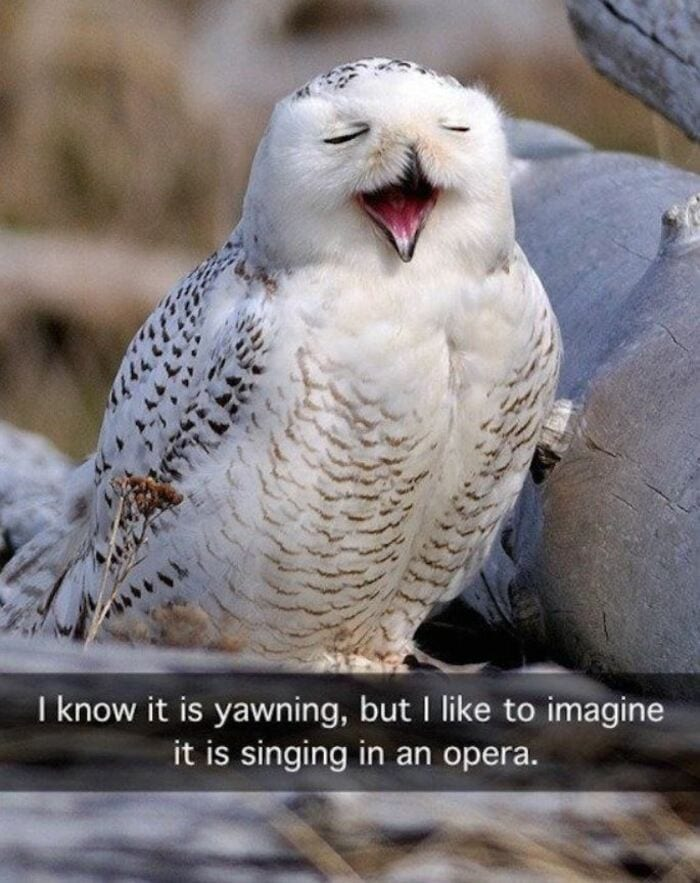 Owl Memes - Yawing owl, I know it's yawning, but I like to imagine it's singing opera.