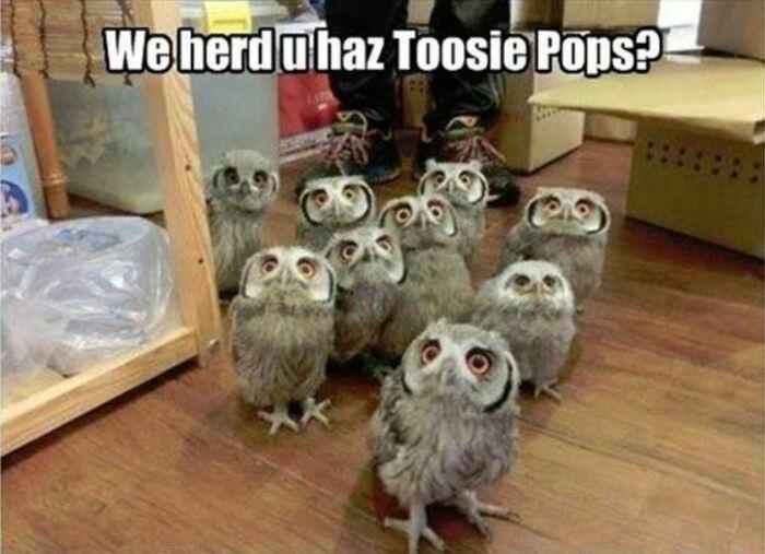 Owl Memes - We herd you haz Toosie Pops? Group of owls