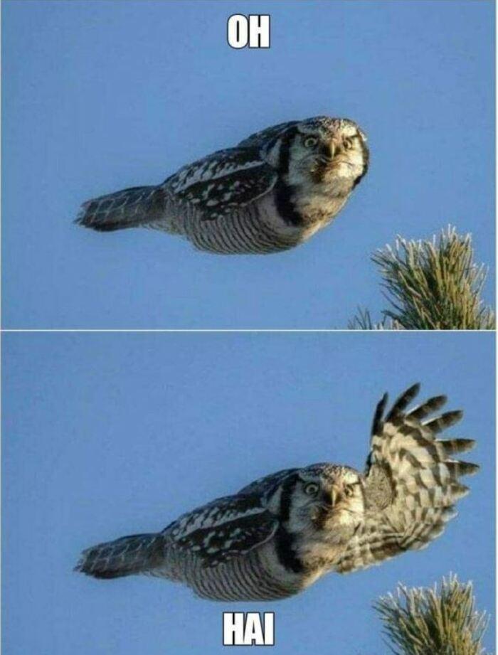 Owl Memes - Flying owl, Oh, Hai