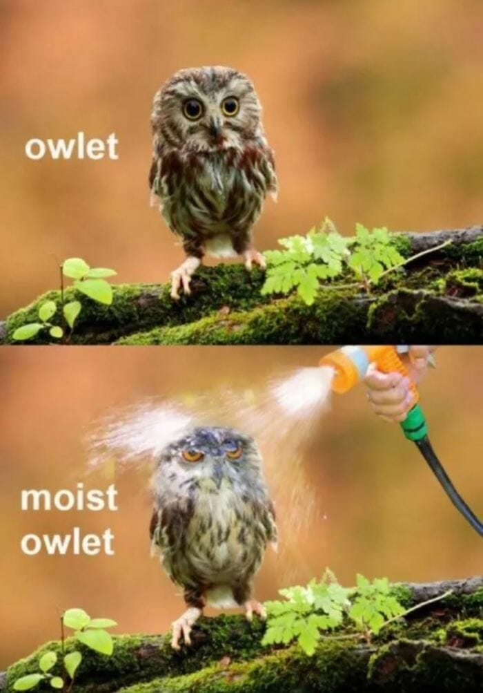 Owl Memes - Owlet, moist owlet. Hose on an owl