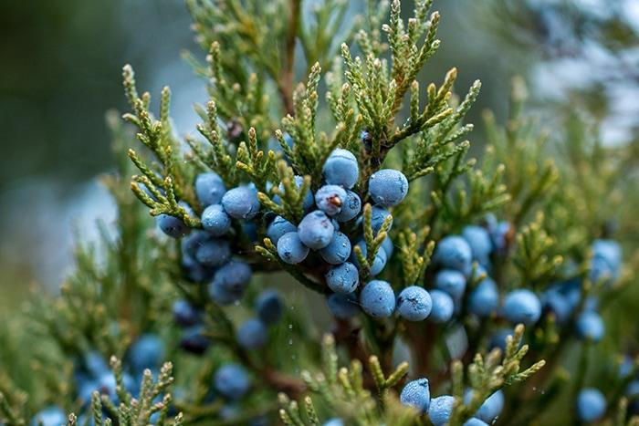 Gin Botanicals - Juniper