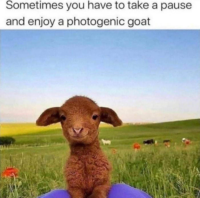 Goat Memes - photogenic goat in field
