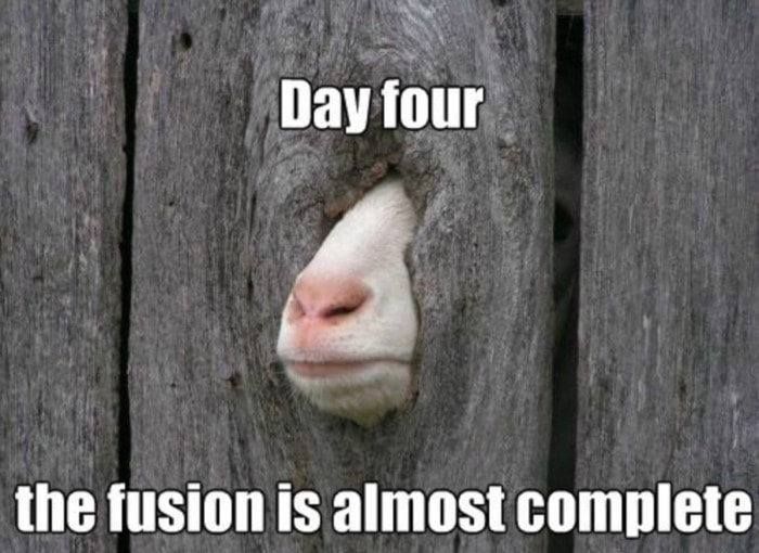 Goat Memes - goat fusing with wall