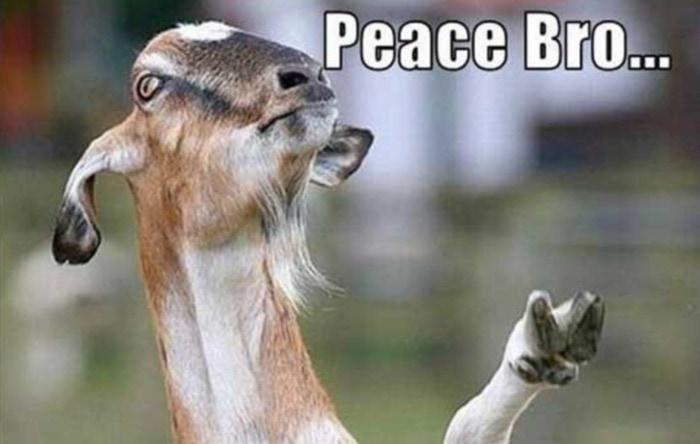 Goat Memes - peace bro hippie goat