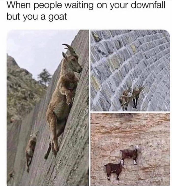 Goat Memes - goats scaling wall